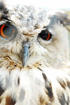 Free Eagle Owl Stock Image - 6464331