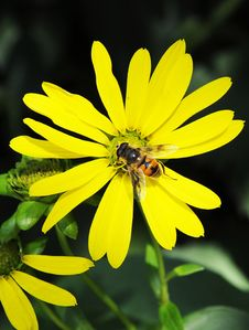 Busy Bee And Yellow Mum Flower Stock Photography