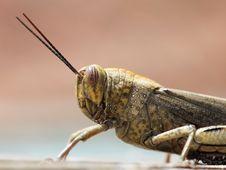 Free Grasshopper Stock Image - 6466101