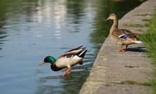 Free Duck Jump Royalty Free Stock Image - 6466166