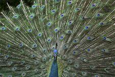 Free Cute Peacock Bird Stock Photography - 6466322