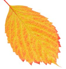 Free Grape Leaf Royalty Free Stock Photography - 6467247