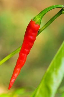 Free Red Chili Pepper Royalty Free Stock Photo - 6467475