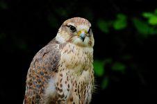 Free Saker Falcon Stock Photography - 6467532