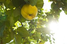 Free Quince In A Tree Royalty Free Stock Photo - 6467585