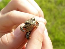 Little Frog In Child Hands Royalty Free Stock Images
