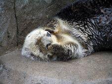 Free Sea Otter Stock Photography - 6468122