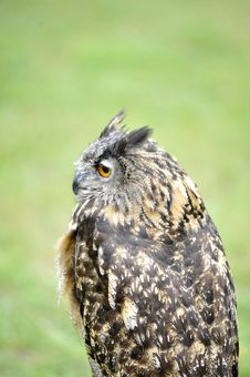 Free Stock Owl 2 Stock Photography - 6468382