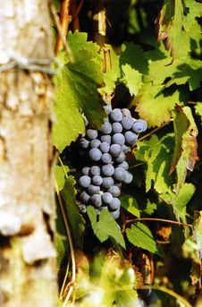 Free Grapes On A Vine Stock Images - 6468454