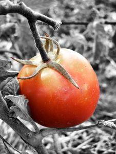 Free Tomato Royalty Free Stock Image - 6468466