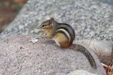 Free Cute Chipmunk Stock Photo - 6469080
