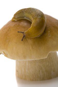 Free Snail On A Cep Stock Photos - 6469533