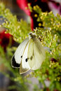 Free Large White Butterfly Stock Images - 6472544