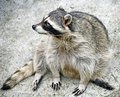 Free Racoon 4 Royalty Free Stock Photography - 6477647