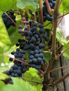 Free Blue Grapes Stock Images - 6479994