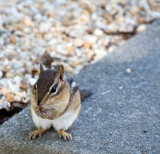 Free Eastern Chipmunk Stock Photo - 6470800