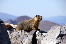 Free Yellow Belly Marmot Stock Image - 6471831