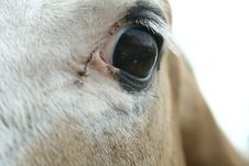 Equine Eye Study - Paint Horse Royalty Free Stock Photography