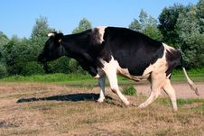 Free Cow In The Field Royalty Free Stock Photos - 6473468