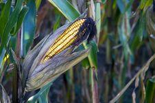Free Corn Royalty Free Stock Photography - 6474217