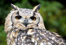 Free Eagle Owl Stock Photos - 6474723