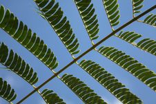 Free Acacia Leaves Royalty Free Stock Images - 6474729