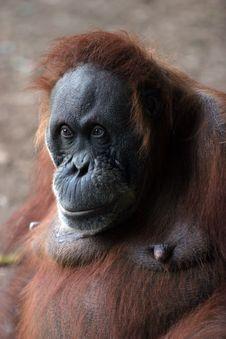 Large Orangutan Looking Serious Royalty Free Stock Image