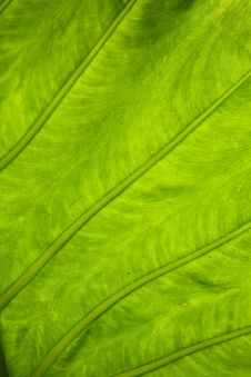 Free Frensh Green Leaf Texture Royalty Free Stock Photos - 6475768