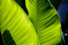 Free Fresh Green Leaf Texture Royalty Free Stock Image - 6476126