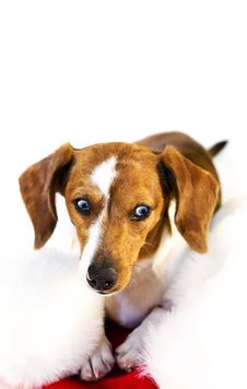 A Dachshund Puppy Royalty Free Stock Photography