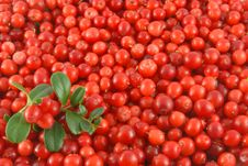 Free Cowberries Stock Image - 6476931