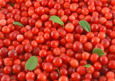 Free Ripe Cowberries Stock Image - 6476951