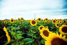 Free Sunflower Field Royalty Free Stock Photo - 6478025