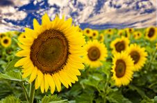 Free Sunflower Field Royalty Free Stock Images - 6478029