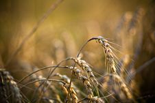 Free Wheat In Field Stock Photography - 6478032