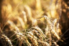 Free Wheat In Field Royalty Free Stock Photo - 6478035
