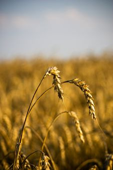 Free Head Of Wheat Royalty Free Stock Photos - 6478038