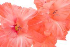Free Red Gladiolus Stock Photos - 6478213