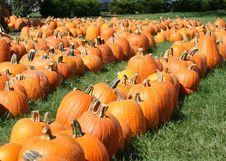 Free Pumpkin Field Stock Photo - 6479380