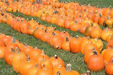 Free Pumpkin Field Stock Image - 6479411