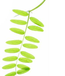 Free Young Green Leaves Royalty Free Stock Photo - 6479425