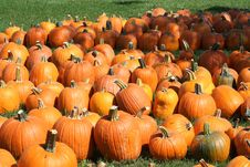 Free Pumpkin Field Stock Photos - 6479443