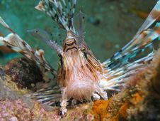 Free LIon Fish On Face Royalty Free Stock Photos - 6479578