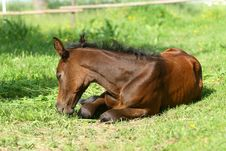 Free Sleeping Foal Stock Photos - 6479903