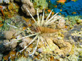Free Lion Fish At Coral Reef Royalty Free Stock Photo - 6480295