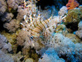 Free Lion Fish Royalty Free Stock Images - 6481029