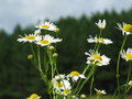 Free Daisy Near Forest Stock Images - 6485654