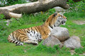 Free Tiger. Royalty Free Stock Image - 6487046