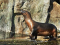 Free Sealion Out Of Water Stock Photography - 6487462