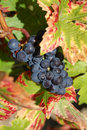 Free Black Grapes Stock Image - 6489031